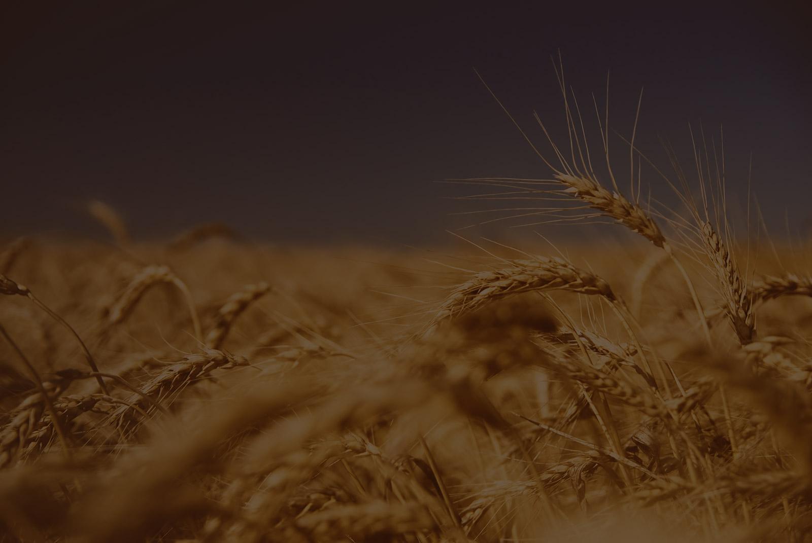 Weizenfeld für Weizenmehlproduktion bei Willa Mehl Mühle